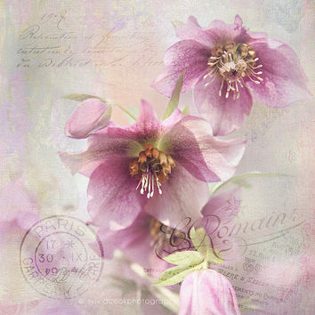 Hellebore photograph,shabby chic decor, flower photo,pastel, spring flowers,floral print,nature,feminine wall art,square print