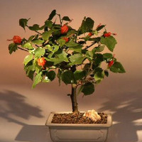 Flowering Dwarf HibiscusRed Chinese Lantern - Medium(hibiscus grandidieri)