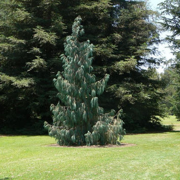 5 à 25 seeds of Cupressus cashmeriana, Bhutan cypress Kashmir cypress endangered. Conifer beautiful and very stylish!