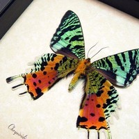 Best Seller For 18 Years Real Framed Madagascar Sunset Moth Display 163v
