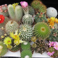 20 Cactus Mix Seeds Fresh Exotic Cacti Rare Cactus Mix Indoor Pot Plant Seeds