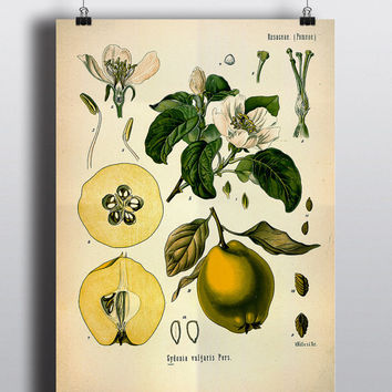 Antique Pear Print 1800s Fruit Illustration Botanical Print Poster Botanical Chart Home Decor Wall Art Large Poster Green Decor Kitchen