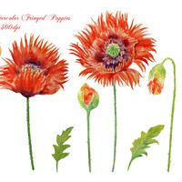 Hand painted watercolour fringed red poppies instant download clipart art for greeting cards wedding card invitation