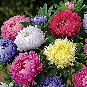 Aster Paeony Duchess Mix Flower Seeds (Callistephus Tall Paeony) 50+Seeds