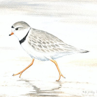 "Original Bird Painting, Piping Plover Watercolor, Beach Nature Decor, Gray Shorebird Illustration, Bird, Sand, Grey, Watercolour 8"" X 10"""