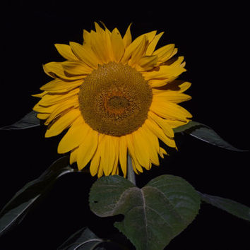 Fine Art Photography Sunflower Art Photography Nature Photography Flower Pictures High Speed Photography For Sale