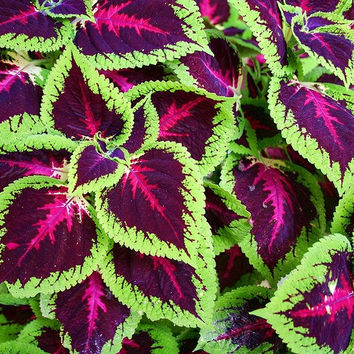 100 Rainbow Mix Coleus Seeds | Coleus Blumei Flower Grass Color Home Garden Bonsai Tree Decor Balcony Design Plant