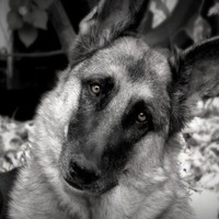 German Shepherd 8x10 Photograph Dog,black and white,tan,canine,eyes