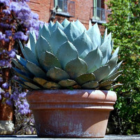 Artichoke Agave parryi, handsome cold hardy succulent, 10 seeds, zones 5 to 11, desert garden, great container plant, houseplant