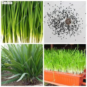 Chinese Chive Seeds Green Healthy Vegetable Rare Indoor / Outdoor Bonsai Non-Gmo Leek Seeds Garden Flower Plants 100 Pcs