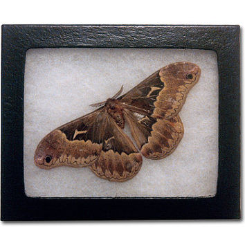 Real Cecropia Moth in Riker Frame
