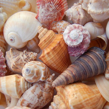 Natural Seashell Mix for Beach Wedding - 1 lb - Natural Shell Mix - Bulk Shells