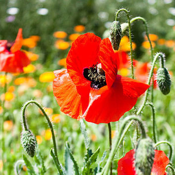 Poppies Botanical Print, Fine Art Photography, Summer Flowers, Wall Art Decor, Crimson Red Home Accent, Garden Art, Nature Photograph