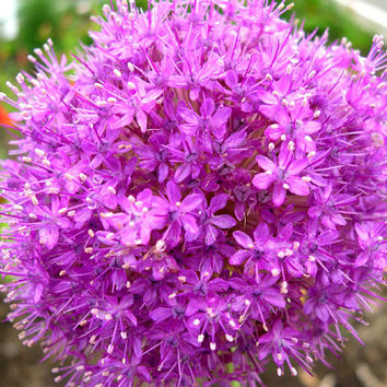 100x Purple Giant Allium Giganteum Beautiful Onion Magenta Perennial Flower Seed