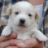 Los Angeles, CA - Beagle/Retriever (Unknown Type) Mix. Meet Dugan a Puppy for Adoption.