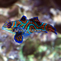 Saltwater Aquarium Fish for Marine Aquariums: Green Mandarin