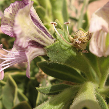 25 seeds of Hyoscyamus muticus, Egyptian Henbane, Egyptian henbane, henbane Sahara, rare and precious, this is the witch from the desert