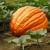Pumpkin Big Max Vegetable Seeds (Cucurbita maxima) 15+Seeds