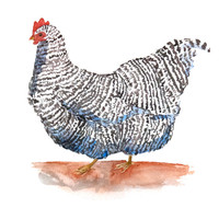 Chicken Print - Archival Quality Watercolor Giclee - Plymouth Rock Chicken on white background