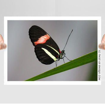 Butterfly on a grass blade / OPEN EDITION photography prints / Butterfly photography and Animal art / Black, pink, white