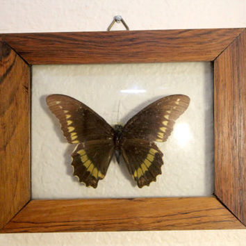 Vintage Butterfly Display Wall Mount