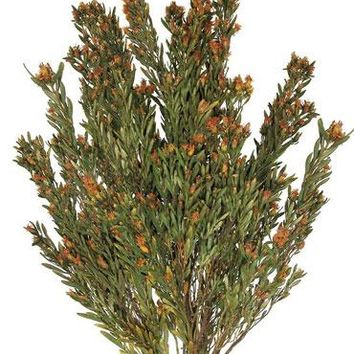 "Dried Plumosum Flowers in Autumn Orange - 5-6 oz Bunch - 20""-22"" Tall"