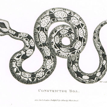 "Shaw's Snakes - ""CONSTRICTOR BOA"" - Copper Engraving - 1801"