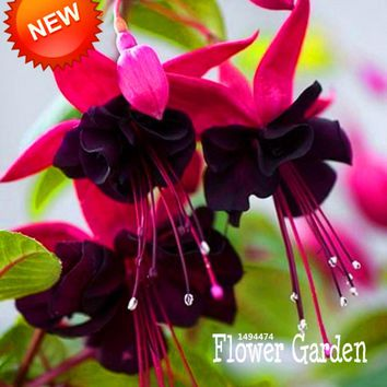 New Fresh Seeds Purple Double Petals Fuchsia Seeds Potted Flower Seeds Potted Plants Hanging Fuchsia Flowers 50 PCS/Bag,#JT54DZ
