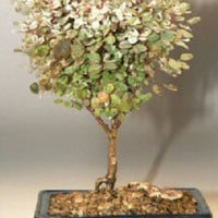Snowbush Bonsai Tree (breynia disticha)