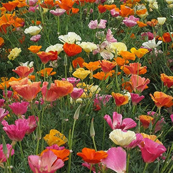 The Dirty Gardener Honeyman Farms Mission Bells California Poppy Flowers, 1,440 Seeds