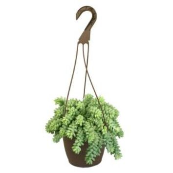 6 in. Hanging Basket Donkey Tails Plant, 0881003 at The Home Depot - Mobile