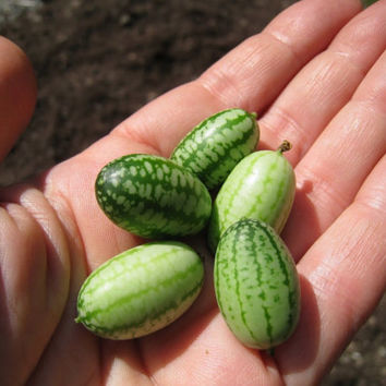 30 Mouse Melon - Mini Watermelon Mexican Sour Gherkin Cucumber Seeds