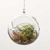 Hanging Terrarium with Tillandsia, Planting Kit