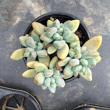 Large Succulent Plant. Sedeveria Blue Giant. Gorgeous muted tones of light blues with shades of pale lavender.