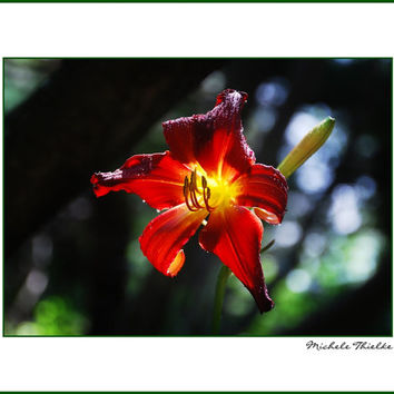 Lily Floal Photography crimson,red,yellow,gifts under 25,home decor,brilliant red daylily,closeup,macro photography,sanguine,graceful,flower