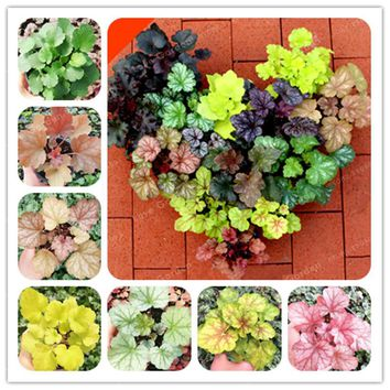 Imported Flowers 20 Pcs/Bag Purple Heuchera(Heuchera Micrantha) Bonsai Beautiful Bonsai Plant Home Garden Potted plant