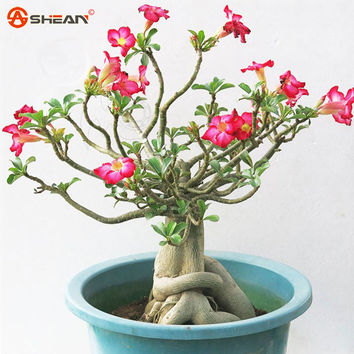 Desert Rose Seeds Potted Flowers Seeds Adenium Obesum Color Optional 100% True Seed In-Kind Shooting 1 Particles lot