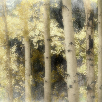 Aspen Light And Shadow