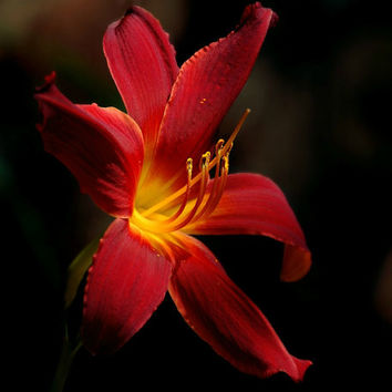 Lily Floal Photography crimson,red,yellow,gifts under 25,home decor,brilliant red daylily,closeup,macro photography