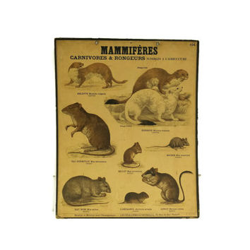 Deyrolle Poster, Number 104. Mammals and Rodent Wall Chart. French School Poster. Cabinet of Curiosities.