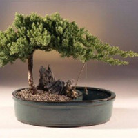 Juniper in a Water Bonsai Pot - Large(juniper procumbens nana)
