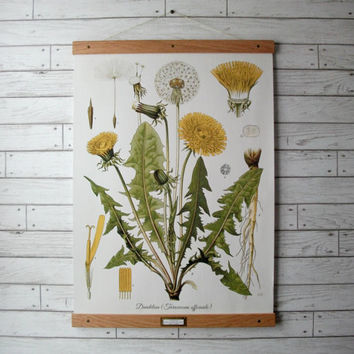 "Large Canvas School Science Botanical Chart Vintage Pull Down Style with Oak Wood Poster Print Hanger - Dandelion Chart (24.5"" x 35"")"