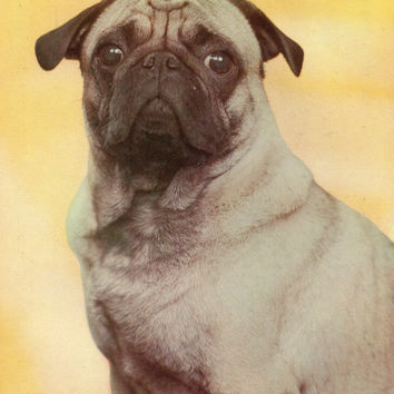 Vintage «Pug (Toy Dog)» Photo Postcard «Dog Breed» Series - Printed in the Ukrainian SSR, «Advertising», Kiev, 1990