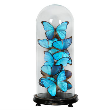 Collection of Morpho Butterflies under Glass Dome