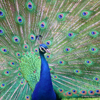 Peacock. Matted photograph.