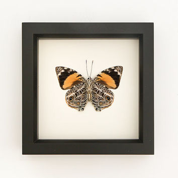 Preserved Butterfly Smyrna blomfildia Beauty Taxidermy Display