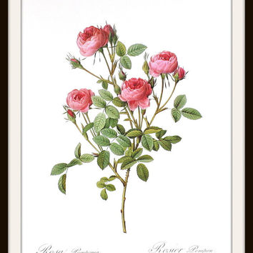 Redoute 10 x 14 Pink Roses Botanical Art Print Rosa Pomponia Unframed, Only 1 in Stock