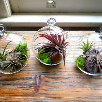 Set of Three Stunning Handblown Glass Terrariums with Five Tillandsia Air Plants including Ionantha Guatemala, Mexican, Velutina & Bulbosa