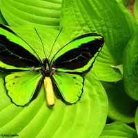 Green Birdwing Butterfly Photography Print
