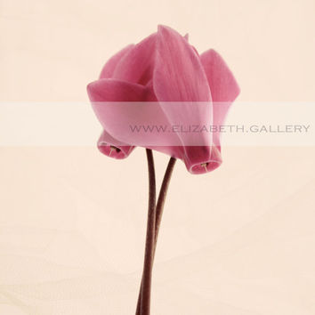 A Pair of Cyclamen Flowers  - Still Life Photography - Beautiful Botanical 5x7 8x10 11x14 Print